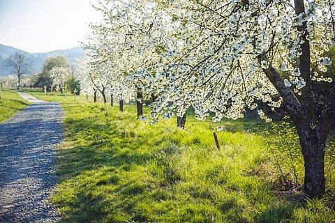 Der Filsener Kirschenpfad am Rhein