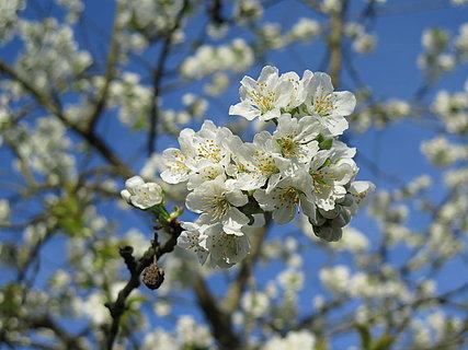Die Kirschblüte am Mittelrhein